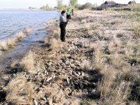 На берегах озера Куль-Куль - больше  тонны дохлой  рыбы