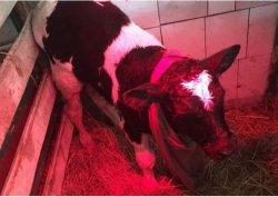 Со звездой на лбу: необычный теленок родился в Троицке