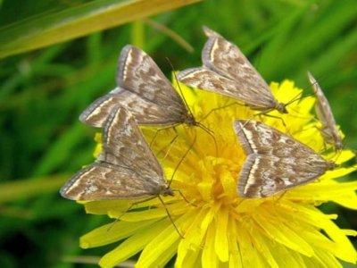 Опасные бабочки