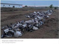 «Полторы тысячи гусей уже сожгли»