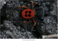 Редкого и ядовитого паука нашли в Троицке