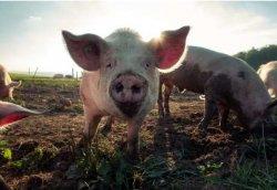 Под Челябинском зарегистрировали два очага африканской чумы свиней